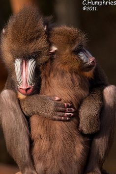 Mandrills are the largest of all monkeys. They are shy and reclusive primates that live only in the rain forests of equatorial Africa.