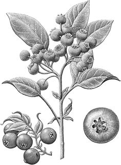 Plants are Ingredients on Behance Engraving Illustration, Plant Illustration, Botanical Illustration, Botanical Drawings, Botanical Art, Gravure Illustration, Scratchboard, Ink Illustrations, Printable Art