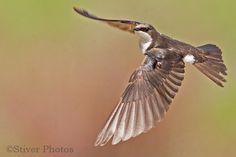 tree_swallow_flight6.jpg 500×333 pikseliä