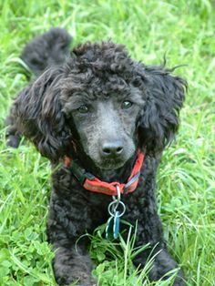 This poodle reminds me of my Pierre, who when I had my appendix removed he refused to leave my side.