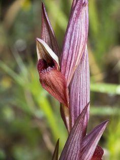 Serapias bergonii - Flickr - Photo Sharing!