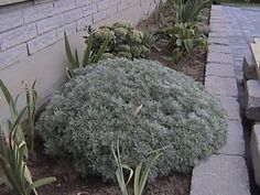Full size picture of Artemisia, Satiny Wormwood, Mugwort,Schmidt Wormwood 'Silver Mound' (Artemisia schmidtiana)