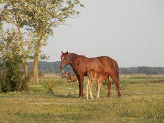 Partizani, Delta Dunării Danube Delta, Horses, Animals, Animaux, Horse, Animal, Animales, Animais