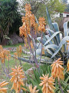 Pflanzen Mallorcas