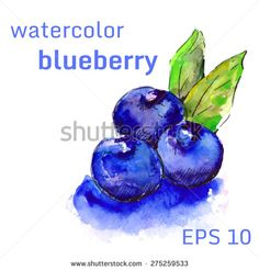 Watercolor blueberries isolated on white background. Hand drawn illustration. Vector.
