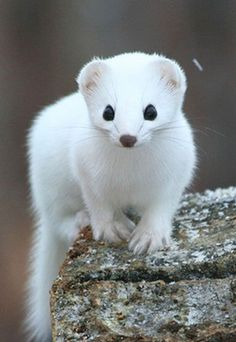 Stoat. When I was a little kid, a weasel jumped out from behind a log and scared the bejeezus out of me, so I'm a little scared of weasely animals, but this guy is super cute.