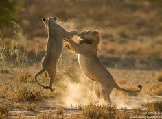 Lion Tussle by Jaco Marx was photo of the day on 22nd April 2016. Earth Shots is a photo of the day contest celebrating the beauty and diversity of our planet.