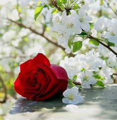 Photo red rose lying on the table amid flowering apple branches. Amazing Flowers, Beautiful Roses, Life Is Beautiful, Beautiful Flowers, My Flower, Flower Power, Flower Pictures, Flowers Pics, World Best Photos