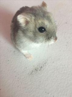 My hamster sugar💜💜💜