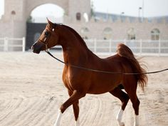 http://www.alshaqab.com/breeding-and-show/horse-profiles/horse-profile?profileId=35