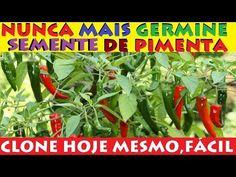 Nunca mais Germine sementes de Pimenta, Clone hoje mesmo fácil por Galhos - YouTube