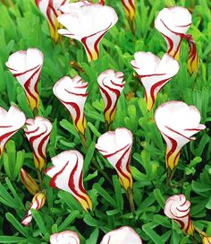 10 candy cane sorrel ( oxalis versicolor ) SEEDS FREE Shipping USA Seller
