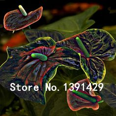 100 pcs Black+ pink Anthurium Seeds Rare Flower seeds Balcony Potted Plant + rose seeds as gifts, Bonsai for DIY Home Garden