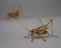 Japanese katydid (Gagmpsocles ussuriensis)