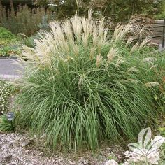 Adagio Grass (Maiden Grass).  3'-4' x 3'-4' (plumes can reach 5').  Drought and cold tolerant.