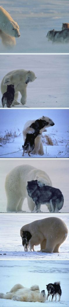 Unlikely Animal Friends: Polar bears and wolf dogs form an unusual bond. http://channel.nationalgeographic.com/wild/unlikely-animal-friends/videos/polar-bears-heart-wolf-dogs/