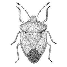 Insect Illustration of Palomena prasina