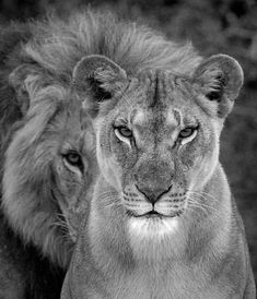 Do you like Lions - Makeup - - Katzen / Cat - You are in the right place Lion Images, Lion Pictures, Beautiful Creatures, Animals Beautiful, Image Lion, Animals And Pets, Cute Animals, Lion Couple, Lion Photography