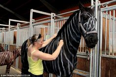 Horse owner paints her stallion to look like a zebra to ward off hungry horseflies. The non-toxic cattle-paint is in fact a ruse to prevent horseflies from biting the horse. She came up with the trick after learning that zebras never get bitten. Scientists have found black and white stripes are unappetizing to horseflies. Horseflies hate how stripes reflect light and prefer 'flat' light of dark coats. Neat!