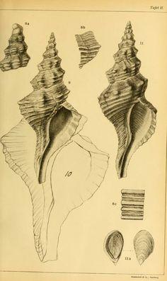 Zur Gattung Fasciolaria Lam. / - Biodiversity Heritage Library