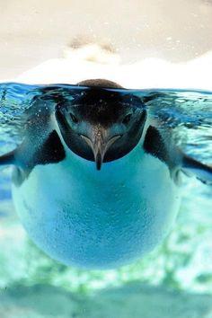 I love the way penguins swim