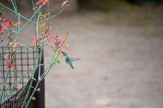 Annabanana: Flight of The Hummingbird