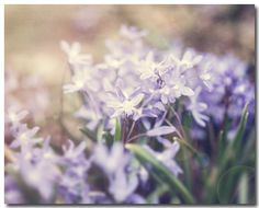 """Purple Wildflower Photograph, Pastel Purple Photo, Spring Art, Nursery Decor, Lilac, Lavender. Unframed horizontal purple wildflower photograph. • Borderless fine art photograph with a soft luster finish. • Available in sizes 8x10 through 30x40 (Click """"Select Options"""" menu to choose). • Watermark does not appear on final photograph."""
