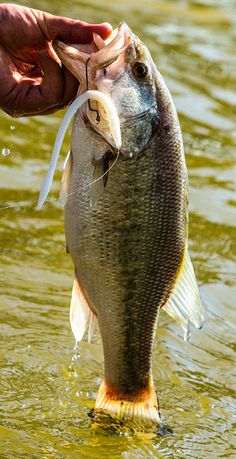 A floating bass worm is responsible for many of our oldest fishing memories. It proves equally effective in ponds, rivers, lakes and reservoirs alike. Despite its proven effectiveness, this method of fishing is quickly becoming a lost art, according to SPRO pro Mike McClelland. While the worms don't in fact float, they fall so slow ...
