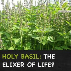 Holy Basil – Amazing Herb for Home Treatments