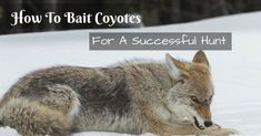 Tired calling coyotes for hours with no answer? There's a better way; learn how to properly bait coyotes. Check it right now!
