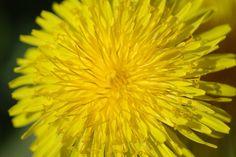 Pampeliška – neobyčejná rostlina se zázračným vlivem na zdraví Dandelion, Flowers, Plants, Edible Flowers, Dandelions, Florals, Plant, Flower, Bloemen