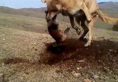 Köpek topraktan çıkardığı köstebeği vahşice parçaladı Horses, Animals, Animales, Animaux, Animal, Animais, Horse