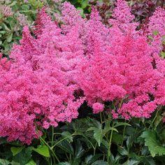 good plant website - esp for perennials Beautiful Gardens, Beautiful Flowers, Herbaceous Border, Cottage Garden Plants, Organic Soil, Ornamental Grasses, Cool Plants, Shade Garden, Gardens