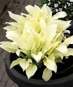 White Feather Hosta - Set of Three Spruce up your garden with these lush flowers that offer hearty blooms and a graceful appearance for lending elegance to your landscape. Also, these graceful flowers have received a top size grading for their high quality and hardiness. Grows to approx. 23'' H Perennial Bloom period: July to August Full sun to partial shade
