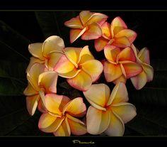 Spring Flowers - Plumeria in Bloom by mad plumerian, via Flickr