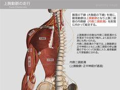 上腕動脈の走行 1