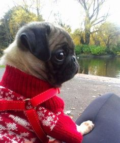 My pug is so somber in her winter jumper