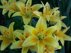 Image result for lilies