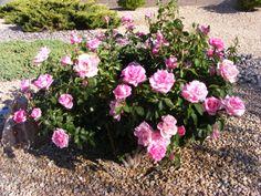 Front yard rose bush