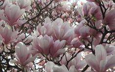 Magnolia, Baby Design, Natural Light, Nature, Plants, Image, Naturaleza, Magnolias, Plant