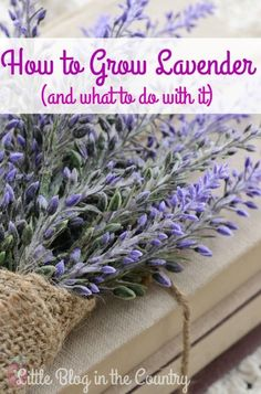 Gardening Herbs Wondering about how to grow lavender? This post will help you with growing it and suggestions on how to use it. - Wondering about how to grow lavender? This post will help you with growing it and suggestions on how to use it. Growing Lavender, Growing Herbs, Growing Vegetables, Lavender Plant Uses, French Lavender Plant, Lavender Candles, Potted Lavender, Diy Garden, Garden Projects