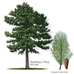 Austrian Pine. Hardy to zone 4. Pinus Nigra