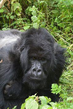 Mountain gorilla Silverback of Ntambara group, in typical resting attitude