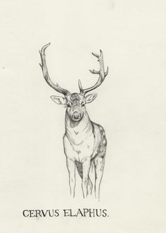 https://flic.kr/p/7GpEDe | Cervus elaphus | 210 x 148 mm, graphite on paper  WEBSITE  | SHOP