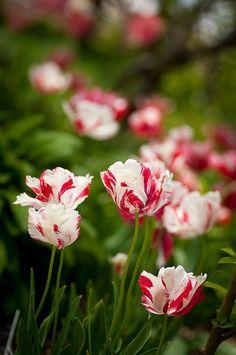 Candy Cane Tulips, Jordan Valley Conservation Garden Park, Utah