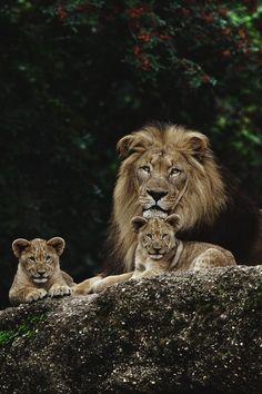 "envyavenue: ""Rodzina królewska |  EnvyAvenue "" #BigCatFamily"