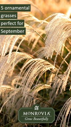 Ornamental Grasses Perfect for September Ornamental grasses steal the spolight of any autumn garden. Check out 5 that look fabulous in September.Ornamental grasses steal the spolight of any autumn garden. Check out 5 that look fabulous in September. Lawn And Landscape, Landscape Concept, Landscape Grasses, Bonsai Seeds, Tree Seeds, Hanging Plants Outdoor, Low Maintenance Garden, Ornamental Grasses, Autumn Garden
