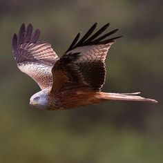 Red Kite - think this my favourite of all birds, gorgeous colouring