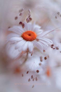 ~~The softness ~ daisy by Magda Wasiczek~~ flowers Amazing Flowers, My Flower, Wild Flowers, Beautiful Flowers, Beautiful Pictures, Daisy Flowers, Beautiful Gorgeous, Daisy Love, Daisy Daisy