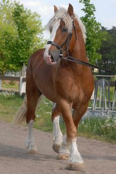 Beautiful Draft Horse - Stallion named Condor III